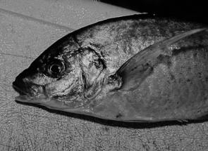 Silver trevally frequent the inshore reefs in autumn.