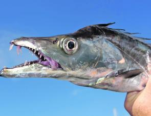 Whatever method you choose to catch hairtail, just make sure the hooks are razor-sharp – matching the fish's teeth.