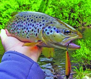 Tyenna stream fish are often fat and very willing to take a minnow-profile lure.