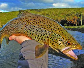 Searun brown trout can still be found in December, but not as thick as in spring.