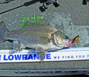 This well-conditioned Hunter River bass took a Jackall Chubby Shallow.