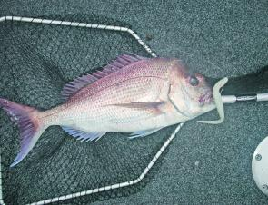 The square-ended Wilson snapper net, made on-site at the Wilson factory in Brisbane, is the true dyed-in-the-wool traditional snapper landing tool for Queenslanders.