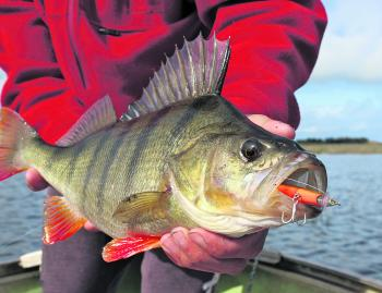 Big redfin have no problem taking big lures, so don't be afraid to upsize!