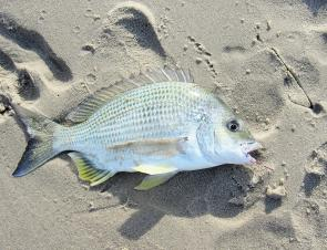 Expect more silver surf bream this month