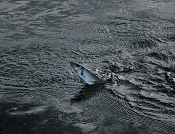 Check out this whiting chasing prawns at first light in the shallows!
