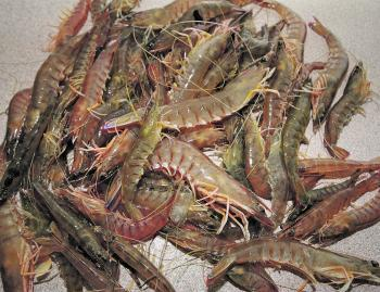 Throughout the summer months' prawns are a viable option to catch in the shallows at night.