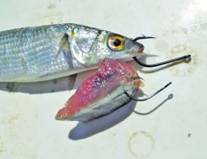 Rigging live mullet and striped tuna strips. Note the point of the hook exposed in the tuna.