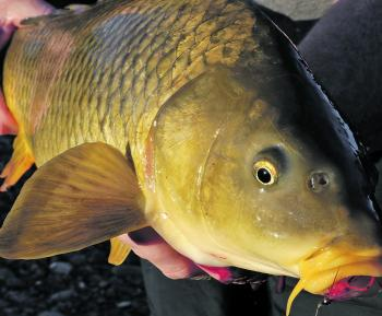 Hard fighting carp are a reliable target for the whole family and will scoff a well placed fly.