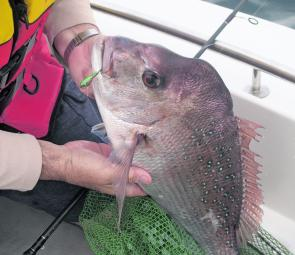 Snapper come right into the shallows this month but it can take some work to get the big ones out.