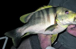 This rare Maori sea perch was captured while live baiting the headlands for golden snapper.