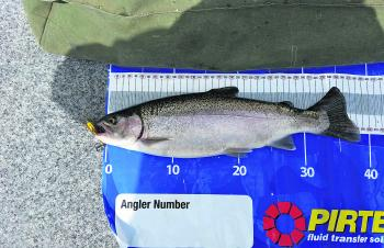 A feisty rainbow trout caught from Lake Wendouree trolling the rowing channel by the author.