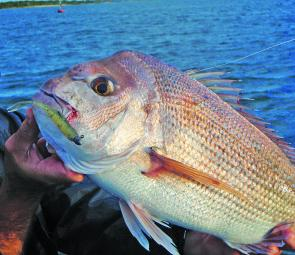 Snapper numbers around the Bay Islands and other areas of Moreton Bay should be good throughout June.