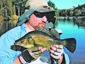 Golden perch are becoming more active in Canberra's urban lakes, Burrinjuck and Wyangala as the weather warms up and the water clears.