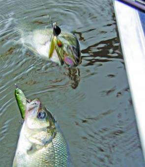 Upstairs and downstairs: It probably won't matter whether you cast a spinnerbait or a surface lure for bass this month, each will get hammered.