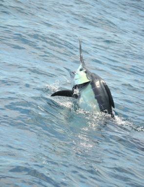 Sights like this marlin have been common this season and still they come.