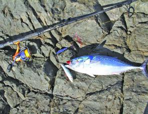 Mac tuna and pilchards are common during the warming months. Match the hatch with a Raider and you're in with a chance.