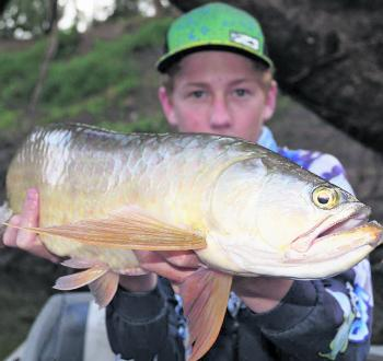 The togas have been out in force again. Mitch landed this nice one out of a Fitzroy feeder river.