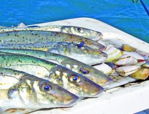 You might not catch a bag of whiting but a good half dozen is a great catch.