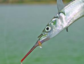 Garfish make for good fun and a great feed if the weather prevents access outside.