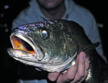 August is generally a good time to find mulloway around Melbourne.