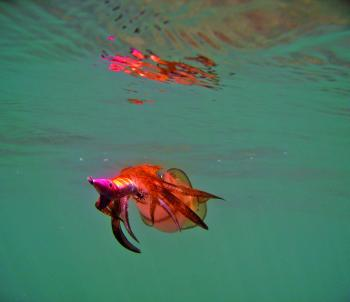Squid will usually be willing to play the game on our inshore reefs, weed beds and broken ground.