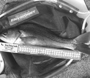 Pre-spawn bass are a typical by-catch when chasing bream up-river. Estuary perch are also on the cards for the plastic-tossers.