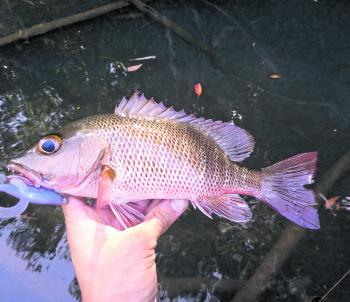 Small mangrove jack taken on a ZMan plastic.