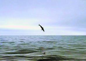 A mako shark gets airborne – reward for patience and a good berley slick.