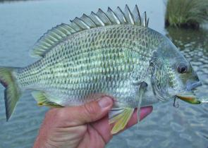 Yellowfin bream have been a nice surprise in the Gippsland Lakes recently.