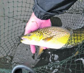 Philip Weigall has been catching plenty of well-conditioned browns at Tullaroop. Photo courtesy Philip Weigall.