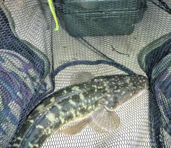 Netting all fish is a good idea in the dark as it makes them easier to handle and release.