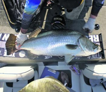 The Tide Apparel LED Measure Mats got a workout at the Night Championship, with Team Tree Huggers' 122cm barra the standout fish of the event.