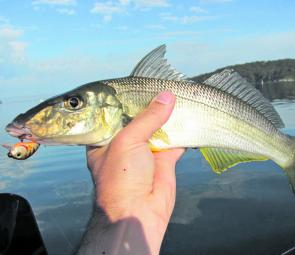 This 40cm whiting was taken off the Swansea sand flats on an Asakura shallow-diving lure.