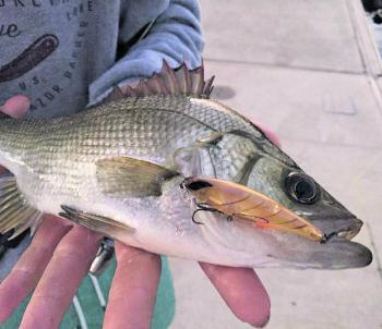 Target structure and sight-cast for the chance to catch one of these elusive estuary perch.