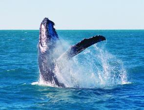 Coffs attractions: whalewatching