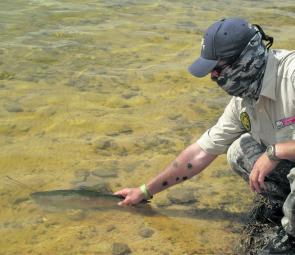 Another healthy rainbow trout is released after battle. Cooling water makes these fish more active.