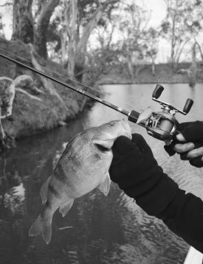 Redfin are a good option for lurecasters in the Campaspe River.