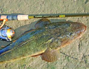 Flathead are easy fish to catch through the Summer months. This one snatched a surface popper in ankle-deep water.