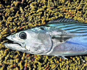 Bonito are the main inshore pelagic along the Central Coast at this time of year. The earlier part of the season was pretty good for the bonnies, so hopefully the trend continues this month.