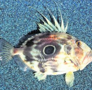 Dory have a great knack of being able to spit baits and miss the hook but they have more trouble regurgitating spiky fish.