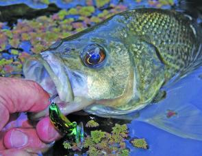 A tidy bass taken under a raft of weed. Small surface lures like this Halco Nano can beckon fish from even deep in cover.