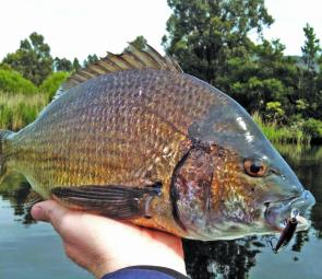 Small compact hardbodies are ideal baits when bream are chasing but not hitting bigger lures.
