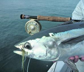 Longtail tuna are handsome fish with their steel blue backs and silver sides.