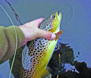 A typical Meadowbanks brownie, well conditioned and great markings.