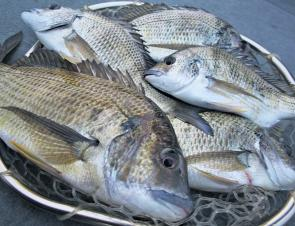 A bag of bream like this isn't uncommon this time of year. The big dark bream came on a surface lure over weedbeds.