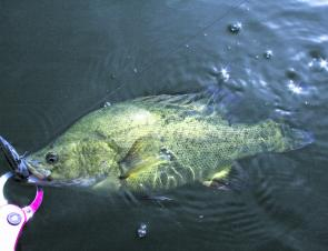 This golden perch was caught casting a Jackall TN60 lure slowly retrieved along a rocky shoreline at Lake Eppalock.