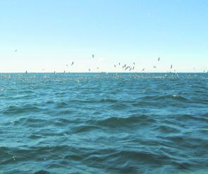This is what you are looking for when you are offshore – birds feeding over schools of tuna and tailor. They should still be around this month.