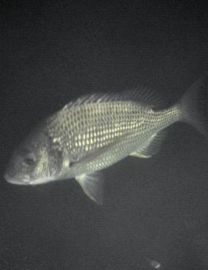 Bream are a prime target in the Bega River system.