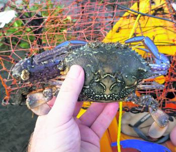 Only one claw, but this legal blue swimmer crab is still a keeper.