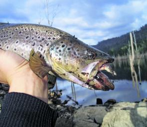 "This trout was mightily hungry – he took a 3"" soft plastic while still having a small blackfish wedged in his throat."